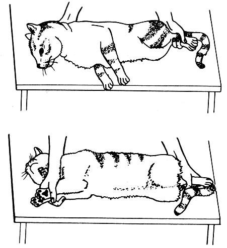 Как удержать кота чтобы сделать укол