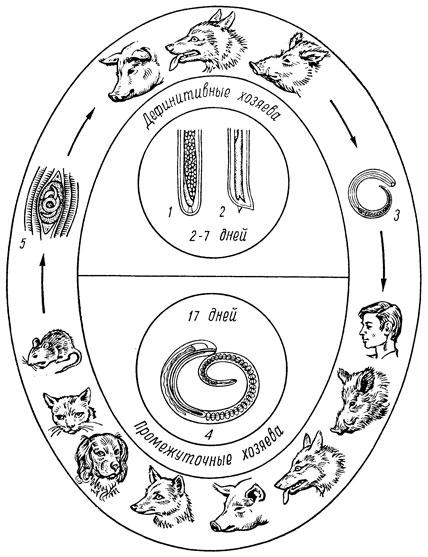 Схема развития трихинеллы: 1