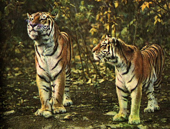 Тигры людоеды в нападениях на людей | 438x578
