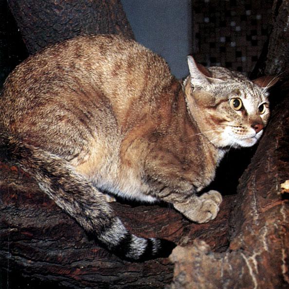 Редкие породы кошек — Круглосуточная ветеринарная клиника «Доверие ... | 593x594