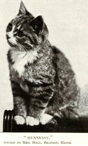 Мейн кун источник breeds traditionalcats com