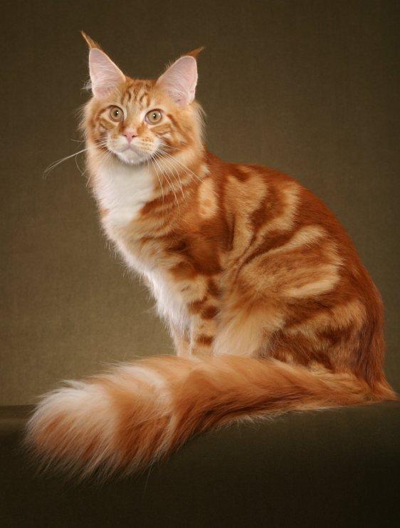Кот породы мейн кун источник smokeycoons