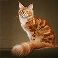 Мейн Кун (мэнская енотовая кошка)